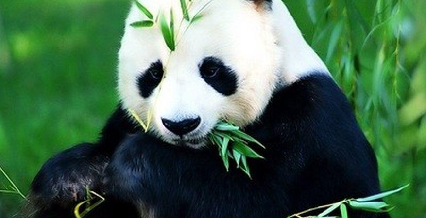 Консервационен център за панди