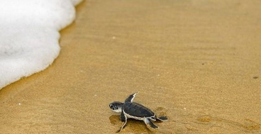 Опазване на морски костенурки, Индонезия
